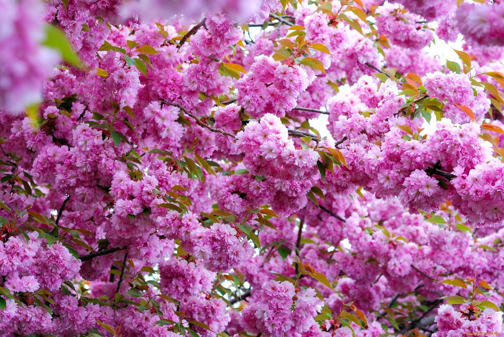цветение деревьев бело розовым цветом фото можно употреблять